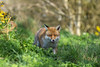 Red fox, (Vulpes vulpes) (Steven Whitehead) Tags: redfox foxes fox red nature canon feeding green grass fur 2017 mammals mammal canon5dmk4 300mm