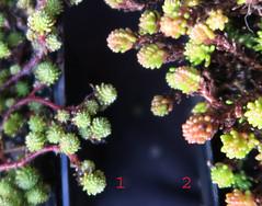 Sedum gracile - Sedum sexangulare (Nessy apprentie en rangement) Tags: sedum crassulaceae succulent