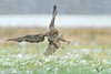 Myszołów, Common Buzzard (Buteo buteo) ... 2017r (Rafal Szozda) Tags: birds nature animals wildlife colors winter snow flight fight nikon nikkor meadow lens lubuskie poland