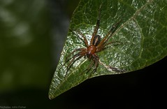Copa kabana (dustaway) Tags: arthropoda arachnida araneae araneomorphae corinnidae copa copakabana swiftspider australianspiders tamborinemountain mounttamborine sequeensland queensland australia