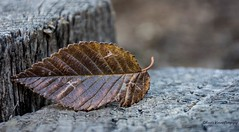 Something old. (Kerstin Winters Photography) Tags: amateur fotografie photography abstract minimalism minimal nikkor nikon nikondigital nikondsl foliage naturephotography naturfotografie flickr flickrnature closeup macro detailtexture outdoor holz wood orange brown old decay blatt leaf