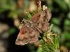 Mazans Scallopwing (d_taron) Tags: mexico michoacán butterflies hesperiidae pyrginae staphylus staphylusmazans