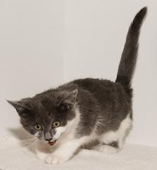 grayson_37377075-20171219-122 (dagnyg) Tags: yhs yavapaihumanesociety cats beautifulphoto