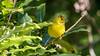 Yellow Warbler (Bob Gunderson) Tags: birds california fortmason northerncalifornia sanfrancisco setophagapetechia warblers woodwarblers yellowwarbler