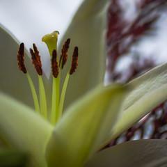 white lily (marinachi) Tags: macromonday macro closeup bokeh flower plant