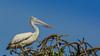 Pelican (isurumd) Tags: pelican