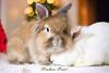 Ein frohes Fest (Gret B.) Tags: fröhlicheweihnachten frohesfest hase hasen kaninchen leo lea niedlich cute christmas merrychristmas weihnachtsbaum weihnachtsgrüse süs lovely tier haustier