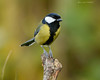 Garden 345 217 (Brian Gort Wildlife Photography) Tags: red great tit greattit green garden gardens gort grey animal autumn wildlife wild warrington white wood wing winter wintery cheshire catchlight colour colours colourful cold manfrotto morning nikon nature naturallight natural native sigma sigma300mmf28prime sunlight