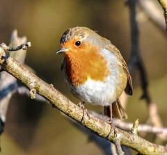 robin close up (Paul Wrights Reserved) Tags: robin bird birding birdphotography birdwatching animal wildlife wildanimal