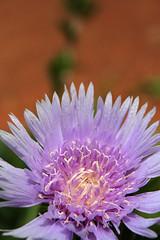 Fire&Ice (Mohan S Bhat) Tags: karnataka kemmangundi india garden flower lightpurple petals stamen bokeh macro centaureapullata