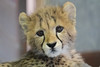 Roketi (greekgal.esm) Tags: cheetah bigcat cat feline animal mammal carnivore cub babyanimal roketi sandiegozoosafaripark sandiegozoo safaripark escondido sandiegozooglobal sdzglobal sdzsafaripark sony rx10m3 rx10iii