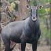 Nilgai or Blue bull (Boselaphus tragocamelus) @ Gir Forest National Park