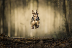 Bambi by name Bambi by nature. Explored #107 30-12-2017 (Paul`s dog photography) Tags: flying leaping dog rescue lurcher wide aperture dof depth field canon eos 5d mark iv ef135mm f2l usm fantasy look woodland bambi sundaylights