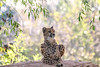 chilling cheetah (Paul Wrights Reserved) Tags: cheetah animal predator bokeh fast fastest resting hunter spots claws paws eye ears watching nose leaves beautiful mammal