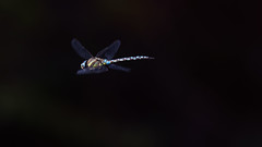 Goodbye 2017 ! (Franck Zumella) Tags: dragonfly insect insecte small fly flying vol voler libellule nature 2017 2018 black noir shadow sombre ombre dark blue bleu old new year année annee sundaylights