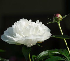 White Peony in my garden (torvug) Tags: white peony ants bud black background