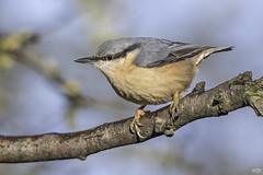 Nuthatch (Edymobeel) Tags: nuthatch sittidae bird brown white blue black brach wildlife staffordshire nikond850 nikon d850 500f4