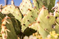 Cactus in Arizona (davebentleyphotography) Tags: canon6d davebentleyphotography sedonaarizona winslowarizona 2017 arizona canon desert travel winslow