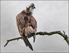 Osprey (Mike Warburton Photography) Tags: wales birds wildlife nature avian osprey migrant perch wild canon 70d sigma raptor fishhawk hawk