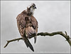 Osprey (Mike Warburton Photography) Tags: wales birds wildlife nature avian osprey migrant perch wild canon 70d sigma raptor fishhawk hawk