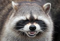 raccoon Blijdorp BB2A0142 (j.a.kok) Tags: raccoon wasbeer america amerika animal mammal zoogdier dier omnivore