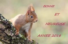voeux 2018 (guiguid45) Tags: nature sauvage animaux mammifères forêt loiret d810 nikon 500mmf4 écureuilroux squirrel écureuil eurasianredsquirrel affût