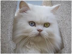 GATO (BLAMANTI) Tags: gatos felinos blamanti canonpowershotsx60 canon uñas blanco bicolor 2017 2018