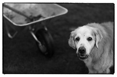 Nick the garden Helper (Eline Lyng) Tags: animal golden retriever goldenretriever nick portrait animalportrait bw blackandwhite monochrome monochrom mediumformat s 007 leicas summarits70mm 70mm summarit leicalens primelens garden gardener gardenwork ngc norway thelittledoglaughednoiret