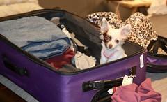 Ok I am ready to go (parrotlady66..) Tags: travel suitcase canon70d puppy cute family