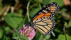 Monarch Butterfly 433 - Danaus Plexippus (Chrisser) Tags: insects insect butterflies butterfly monarch danausplexippus nature ontario canada canoneosrebelt6i canonef75300mmf456iiiusmlens nymphalidae