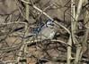 IMG_0380b (Naturecamhd) Tags: canonpowershotsx60hs sx60hs newyorkbotanicalgarden nybg bluejay bronx thebronx birding nature wildlife twinlakes winter