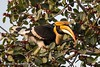 Great Indian Hornbill (Ian.Kate.Bruce's Wildlife) Tags: greathornbill gianthornbill bucerosbicornis bucerotidae bird birds hornbill wildlife nature ianbruce katebruce corbettnationalpark uttarakhand india