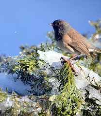 HUNGRY BIRDS.    THIRD DAY OF AN UNUSUAL WINTER ICE STORM PLAYING HAVOCK EVERYWHERE.   ABBOTSFORD,  BC.  (DARK EYED JUNCO) (vermillion$baby) Tags: darkeyedjunco fraservalley icestorm bird bokeh junco ice storm winter snow danger bc unusual nature milllake abbotsford trees tree beautifulbc