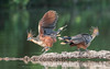 Hoatzin (tickspics ) Tags: amazonbasin cochasalvador hoatzin manú manúbiospherereserve manúnationalpark opisthocomidae opisthocomushoazin peru southamerica tropicalrainforest