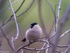 Birds 20180107 26_DxO (wasabi65) Tags: dompfaff gimpel
