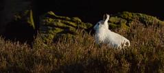 Mountain Hare (wildwalker3) Tags: mammal sunlight hare mountainhare moorland hillside rocks heather nature saddleworth winter