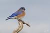 Winter Bluebird (dennis_plank_nature_photography) Tags: westernbluebird