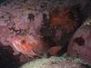 ML061689.jpg (alwayslaurenj) Tags: montereycarmel pointlobos vermillianrockfish