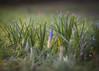 More Crocus! (ursulamller900) Tags: mygarden trioplan2950 bokeh crocus krokus winter