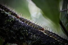 Orugas (Verino77) Tags: chenilles orugas caterpillar lepetitprince elprincipito thelittleprince canon eos rebel t7i verovilla77