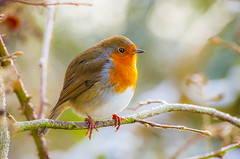 Robin 2 (JasPrS) Tags: robins nature reserve redbreast wings feathers countrylife nikon nikkor ponds nest