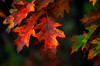 Fall's Flirty Foliage (Captions by Nica... (Fieger Photography)) Tags: colorful colors leaves leaf depth depthoffield forest fall foliage autumn outdoor nature quebec canada
