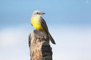 Tropical kingbird - Tyran mélancolique - Tyrannus melancholicus