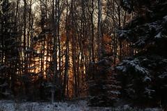Sunfire (J. Roseen) Tags: forest woods trees träd skog sunlight solljus fire eld solleld sunfire eos7dmkii outdoors sunset solnedgång solnedgångsljus sunsetlight