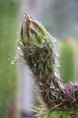 Trichocereus spachianus bud (Runabout63) Tags: trichocereus bud cacti cactus
