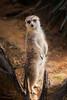 Little Fuzzy Photogenic Friend (brian.pipe) Tags: nikon d500 80 400 afs dallas zoo meerkat texas tx
