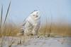"Chilling'  3I5665 (Dr DAD (Daniel A D'Auria MD)) Tags: ""snowyowl"" snowy owl bird birds raptor raptors ""birdsofprey"" ""birdsofnorthamerica"" ""irruption"" nature wildlife animals ""birdphotography"" ""naturephotography"" ""birdsinflight"" ""snowyowlinflight"" ""children'swildlifebooksbydanielad'auriamd"" ""danielad'auriamd"" ""drdadbooks"" ""november2017"" ""owlsofnorthamerica"""