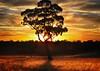 Christmas Tree (holly hop) Tags: emu december centralvictoria australia bush trees grasses grass sunset paddock farm sheep nature silhouette twilight goldenlight tree christmas christmaseve dusk sliderssunday postprocessing hss downunder oz