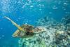 turtle3Nov18-17 (divindk) Tags: cheloniamydas hawaii hawaiianislands maui underwater diverdoug endangeredspecies greenseaturtle marine ocean reef sea seaturtle turtle underwaterphotography