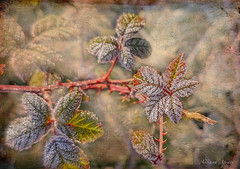 21 dicembre 2017, foglie di rovo ghiacciate (adrianaaprati) Tags: leaves bramble ice frosty park cold outdoors thorns texture december lenabemannaj winter crystals pictorial light